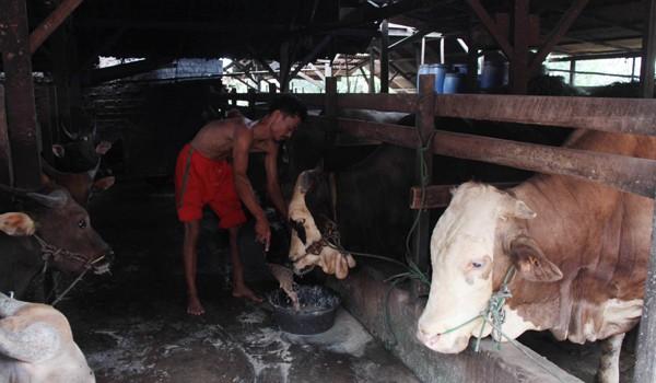 Pemkot Jambi sudah menyiapkan stok hewan kurban untuk Kota Jambi sebanyak 3.800 ekor, yang terdiri dari 1.800 ekor sapi dan 2.000 kambing. M. KHAIDIR/JAMBIUPDATE.COM