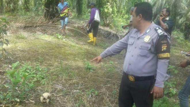 Tengkorak manusia yang ditemukan warga kebun sawit di Dusun Sekar Mengkuang Kecamatan Limbur Lubuk Mengkuang pada Senin (3/9).