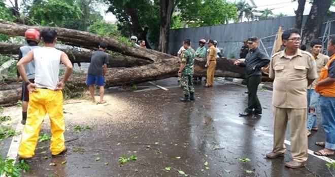 Pohon beringin tua yang tumbang akibat angin kencang beberapa waktu lalu. Foto : Dok Jambi Update