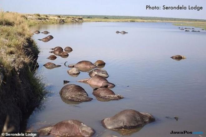 Lebih dari 400 ekor kerbau tenggelam di sungai di Bostwana Utara pekan ini. Dilansir dari Dailymail pada Kamis, (8/11) (Serondela Lodge)