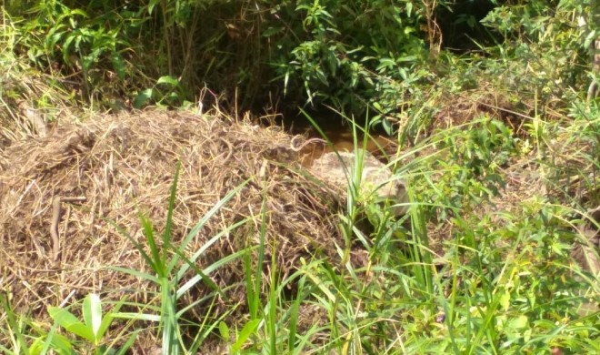 Terlihat buaya di Dendang tengah membuat sarang untuk berkembang biak diareal kebun warga.