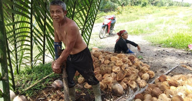 Petani kelapa di Tanjungjabung Barat, Tabrani, saat memperlihatkan kelapa hasil panen. (Inzert) Jumad mengupas kelapa.