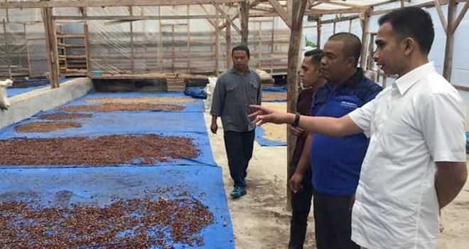 Dipo Nurhadi Ilham melihat proses pengeringan kopi oleh para petani di Kabupaten Kerinci. Foto : Ist
