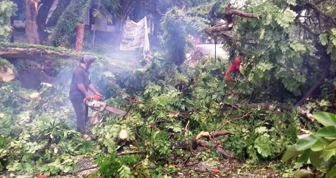 Pohon tumbang saat hujan disertai angin di JL Diponegoro, tepatnya dibelakang Koni, (27/3). Foto : M Ridwan / Jambi Ekspres