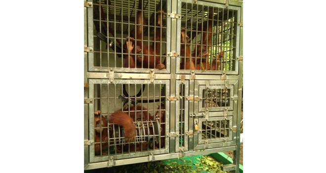 Lima ekor Orang Utan yang akan disekolahkan di Pusat Re Introduksi Orang Utan Danau Alok Tanjungjabung Barat. Kelimanya diberangkatkan dari Sumatera Utara (29/4).