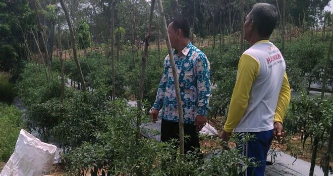 Petani cabai di Kota Jambi semprot tanaman cabai agar mendapatkan hasil yang memuaskan.