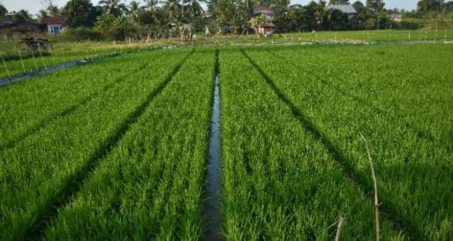 Tanaman padi petani di Sijenjang Jambi Timur masih dalam pertumbuhan. Kemarau panjang di khawatirkan menyebabkan kekeringan. Foto : M Ridwan / Jambi Ekspres