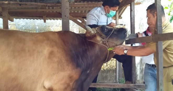 Petugas melakukan cek kesehatan hewan kurban di Kota Jambi.