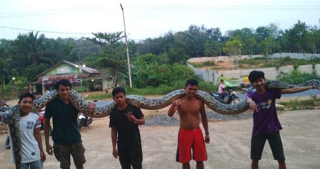 Ular Jenis Phyton berukuran sangat besar membuat Heboh warga Kecamatan Mestong.