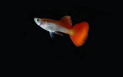 Ikan guppy yang berwarna merah putih.