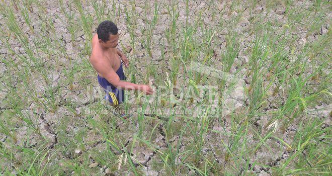 Terlihat padi petani di Muaro Jambi mulai mengering. Ini karena kemarau masih melanda Provinsi Jambi. Banyak padi petani gagal panen. Dari data 25 Agustus dibandingkan 12 September meningkat 400 persen.