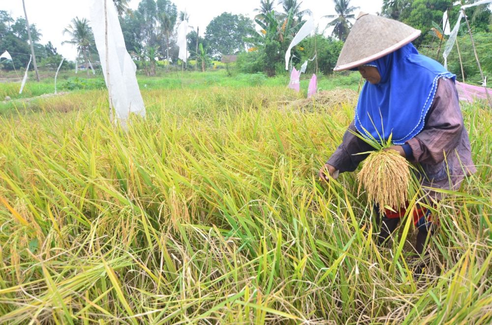 Lahan Pertanian di Kota Jambi Kian Menyempit MK