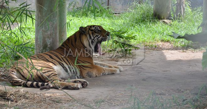 Harimau sumatra.