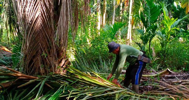 petani Sawit di Dusun Nusantara Desa Lumahan Kecamatan Senyerang, saat memanen sawit.