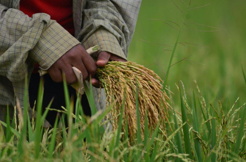 Petani memanen padi di Kota Jambi tahun lalu. Tahun ini musim tanam bergeser karena cuaca yang tidak menentu.