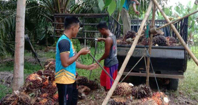 Petani Desa Lambur, Kecamatan Muara Sabak Timur, saat panen buah sawit.