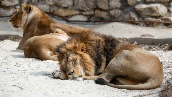 Ilustrasi singa di India. Delapan singa Asia di kebun binatang India dinyatakan tertular Covid-19.