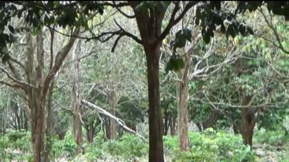 Tanaman pohon duku di Tanjabtim yang mongering akibat diserang hama.
